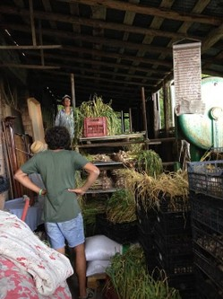 1_Paola-Ferrari,-owner-of-the-farm,-after-harvesting-the-Vessalico-s-garlic,-a-product-of-the-SlowFood